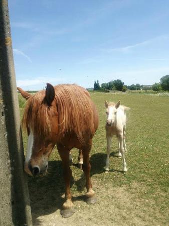 Harricourt 村長の馬