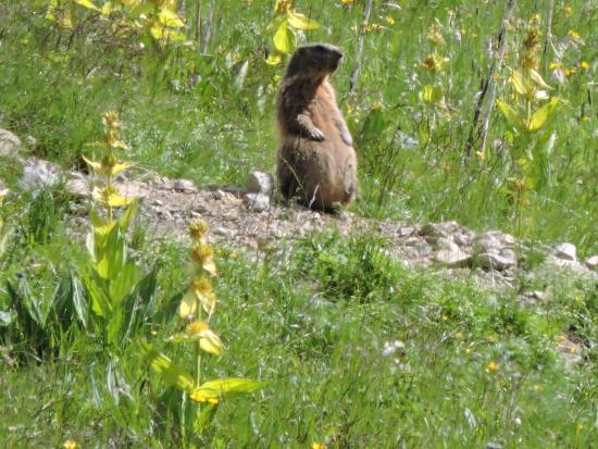 Rifugio Baita alle Cascate: marmotte di sentinella