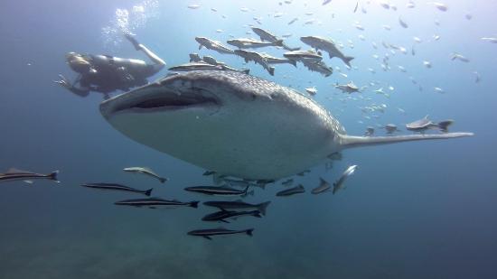 Bigfin Divers