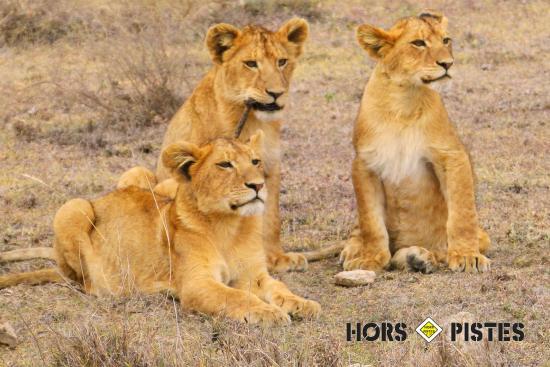 Région d'Arusha, Tanzanie : Lionceaux dans le Serengeti Hors Pistes