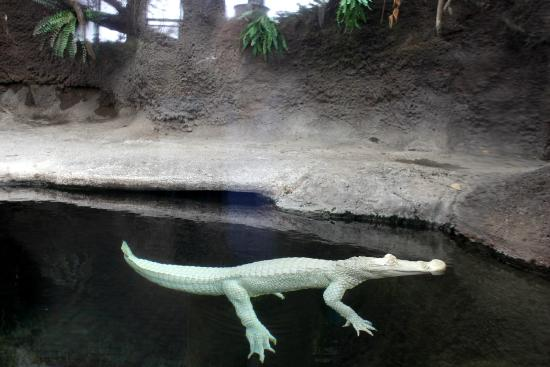 luna an albino alligator at the nc aquarium at fort fisher