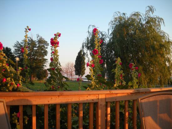 On Pelee Time: Hollyhocks in the garden