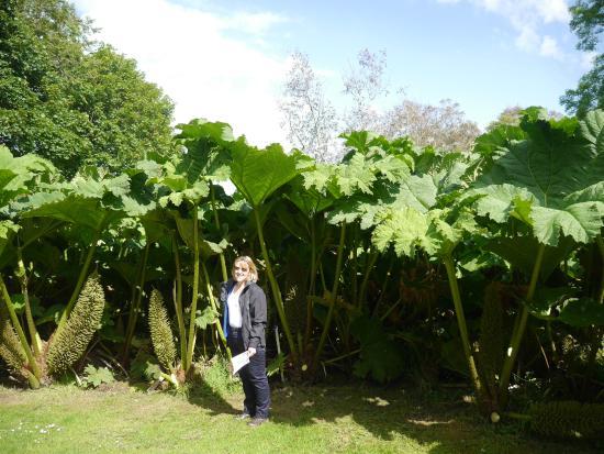 Gunnera At Logan Botanic Garden