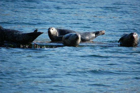Hood Canal Adventures: Seals