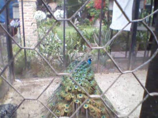 Parque Agua Azul: Un pavo