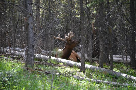 Grand Canyon of the Yellowstone: An Elk we spotted a short ways off the trail on way to Uncle Toms Trail.