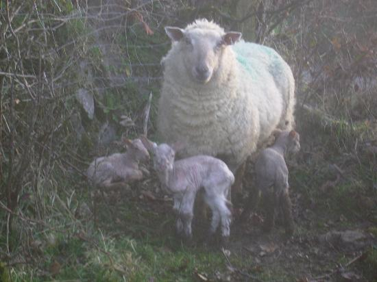 East Raddon B&B: sheep lamb in march this ewe had 3 ! just hour old .
