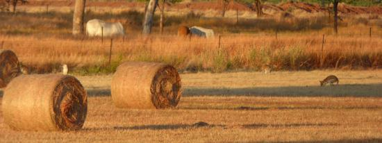 Victoria River Road House: Early morning light on hay bales behind motel with wallabies and kookaburra