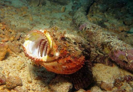 Simpson Bay, St-Martin/St Maarten: Scorpionfish - man what a mouth