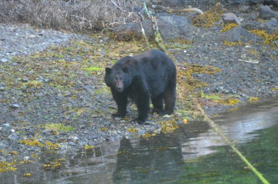 The Lodge at Hippa Island (Westcoast Resorts): Father Bear fossicks at the waterline