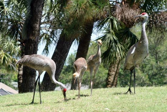 Boca Royale Golf & Country Club: Sand Hill Cranes are all over our property.