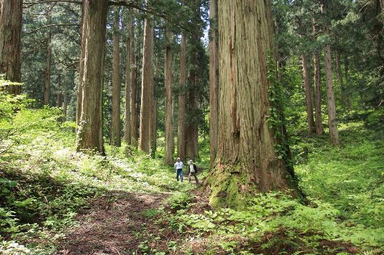 Kaneyama-machi, Japan: 美林の中を行く