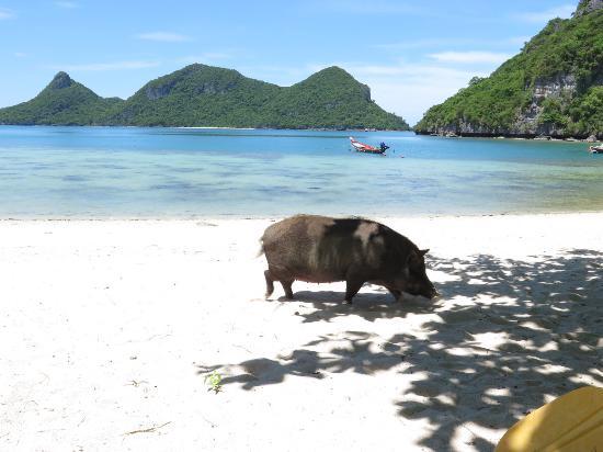 Ang Thong, Tailandia: wild hog..