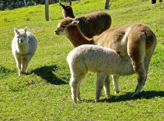 Alpacas picture of mountview alpaca farm canungra for Alpacas view farm cuisine