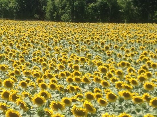 Moulin de Salazar: Surrounded by sunflowers ...heaven