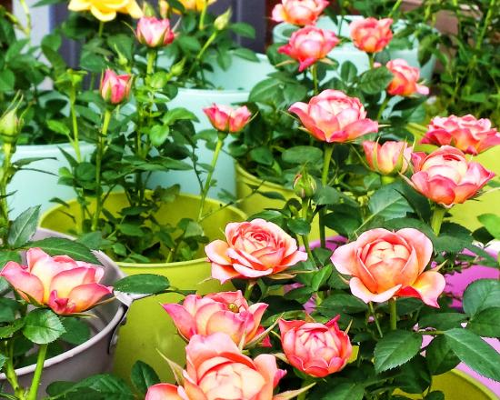 Markt: Bloemig's potted roses