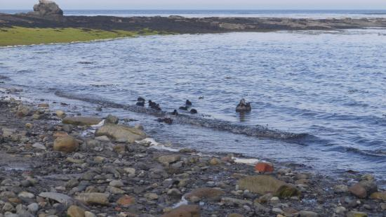St Aiden Beach : Eider duck and young