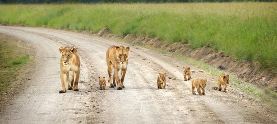 First African Dream Tours & Safaris: lions