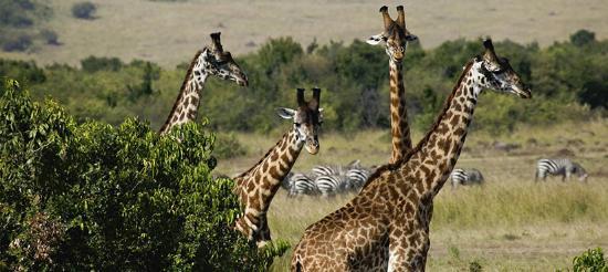 First African Dream Tours & Safaris: giraffe and Zebras