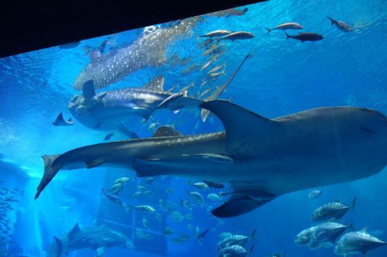 ジンベエザメ - Picture of Okinawa Churaumi Aquarium, Motobu-cho - TripAdvisor