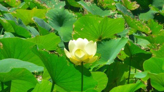 Mary K. Oxley Nature Center: A lillie from the pond