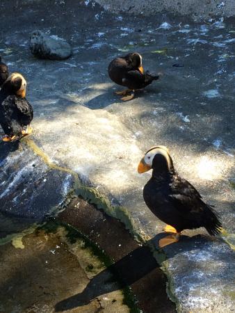 Point Defiance Zoo & Aquarium: Puffins