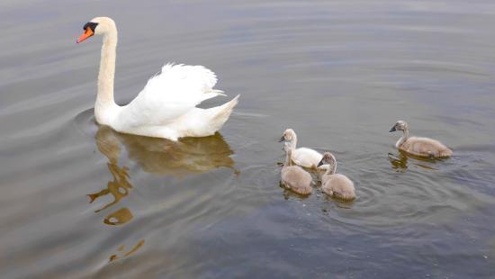 Teschow, Germany: Лебеди на озере