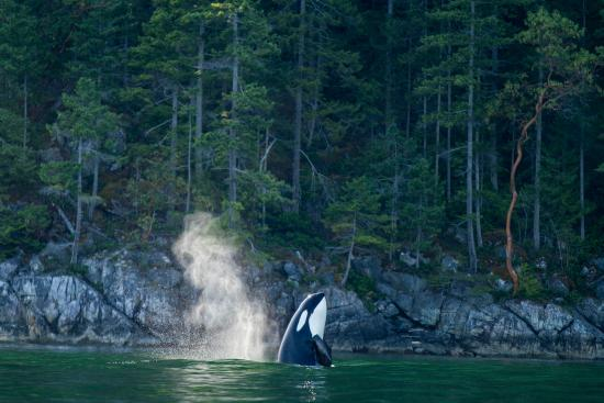 Nimmo Islet, Canadá: Orca Whales