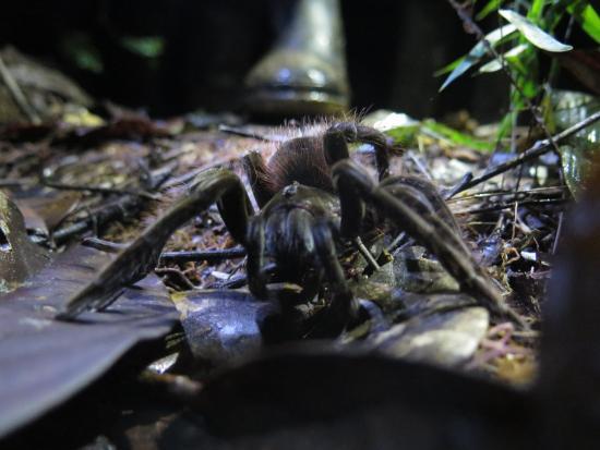 Tierra Zero Tours: goliath tarantula in cuyabeno