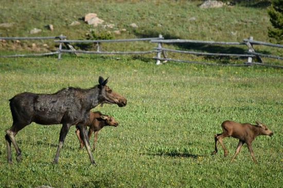 Wyoming High Country Lodge: Moose with her two calves