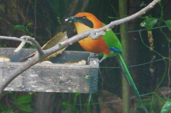 Hacienda San Vicente: Rufous Motmot at the Yellow House Banana feeders