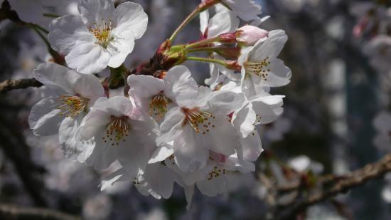 Hadano Sakura Michi