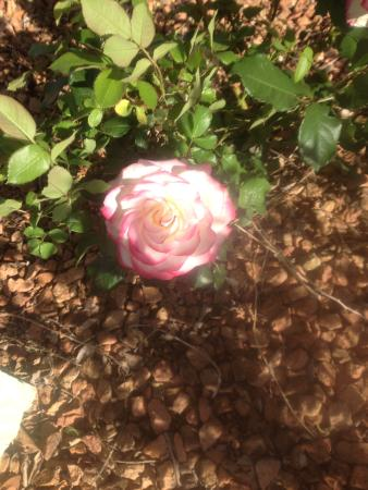 Best Western Alamosa Inn: One of the lovely roses in the garden at the Best Western in Alamosa