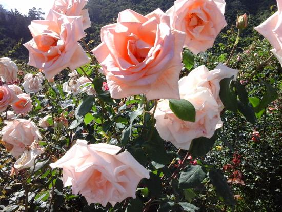 wonderful roses - Picture of Madeira Island Tours, Funchal ...