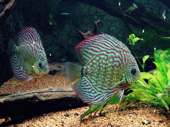 Public Aquarium of Brussels: Discus