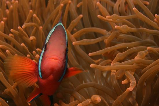 Bauan, Philippines: Tomato Clownfish at Portulano Housereef