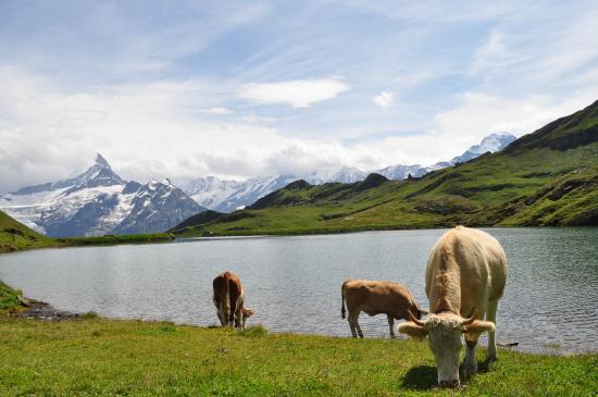 Bachalpsee: ランチ中、真横に牛さんが。