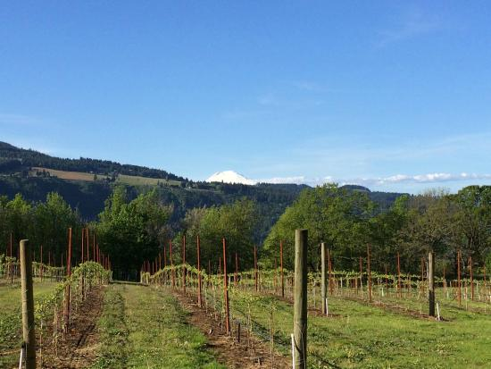 Hood River, OR: Vineyard and Mount Adams