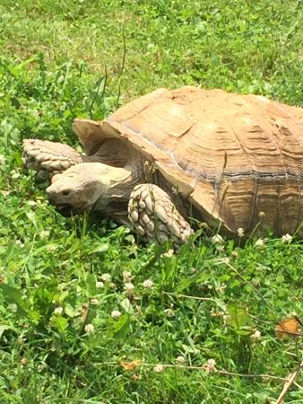 Henson Robinson Zoo: Big Tortoise