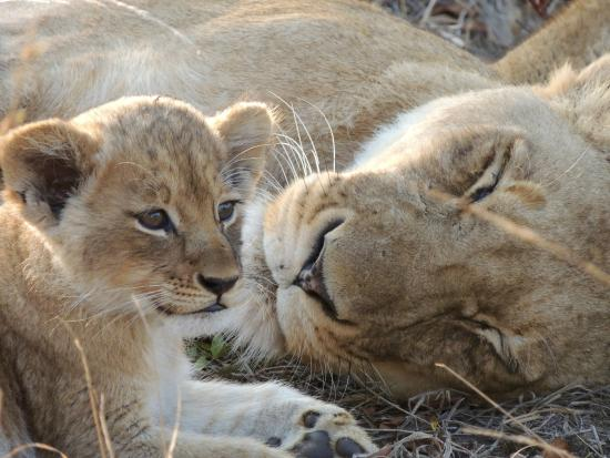 Arathusa Safari Lodge : lion cub with mama