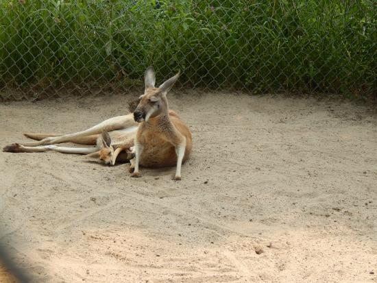 Greenville, WI: Kangaroo and Joey