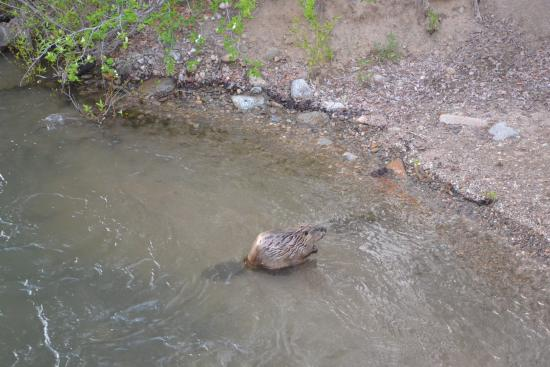 Easley Hot Springs: Mr. Beaver nearby