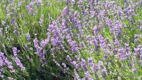 Hood River, Oregón: Lavender
