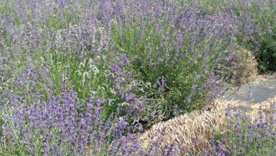 Hood River, Oregón: More lavender