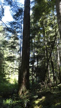 The Sunshine Coast Trail - Day Tours : Largest Dour Fir on trail (I think)