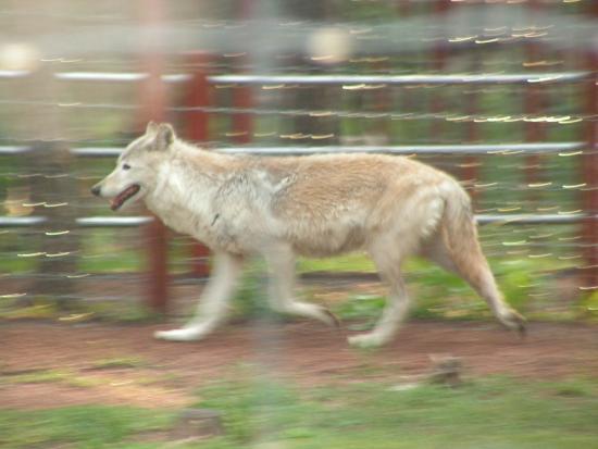 Divide, CO: Wonderful Wolf