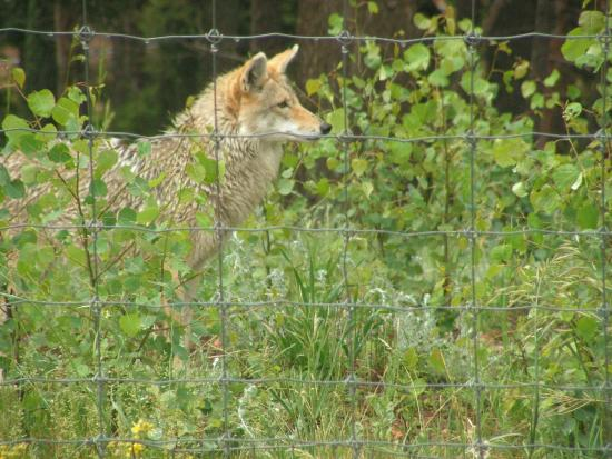 Divide, CO: Cute Coyote