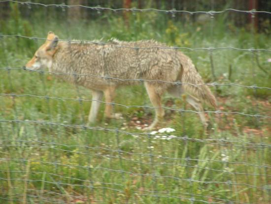 Divide, CO: Coyote