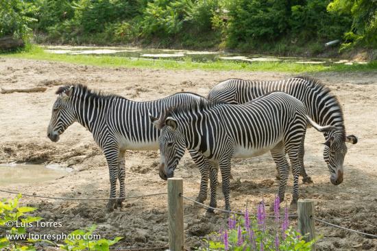 Peoria, IL: zebra