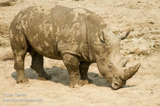 Peoria, IL: rhino